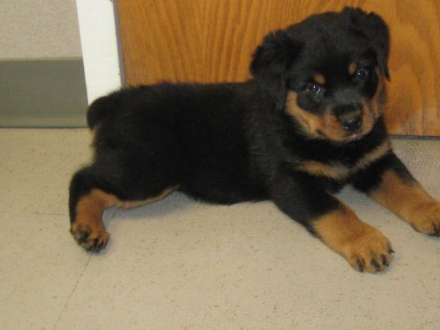 Rottweiler Puppies Classifieds Buy Sell Rottweiler Puppies