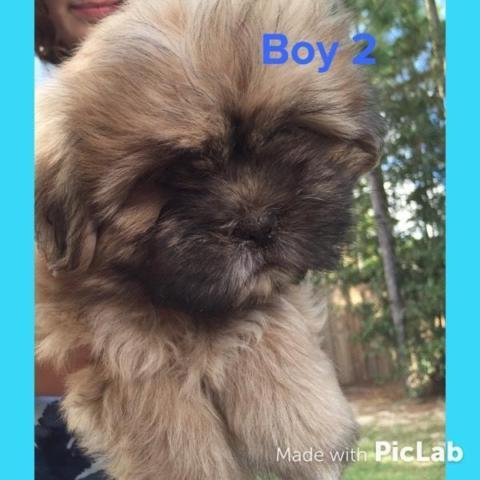 Ready today! Shih Tzu Puppies
