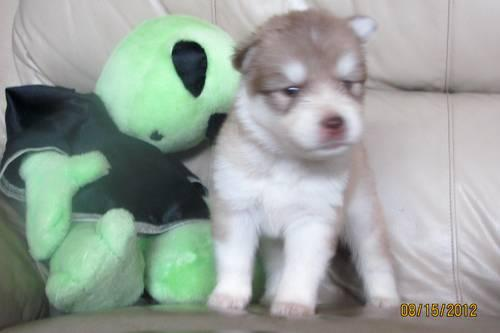Purchase Price Of A Siberian Husky Colors Of The Siberian Husky Search ...
