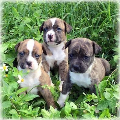 Real Johnson S American Bulldog Puppies For Sale In Miami Florida Classified Americanlisted Com