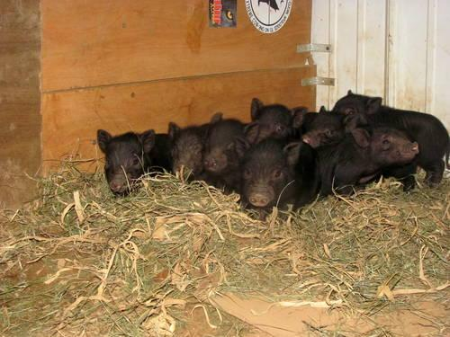 real mini pet pigs, NOT POT BELLY PIGS