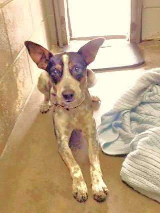 Rebel Australian Cattle Dog / Blue Heeler Young -