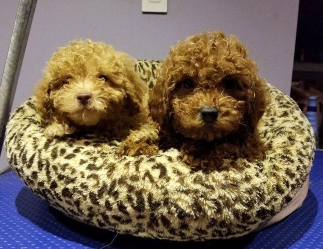 Red Apricot Toy Mini Poodle Puppies Looking For New Home