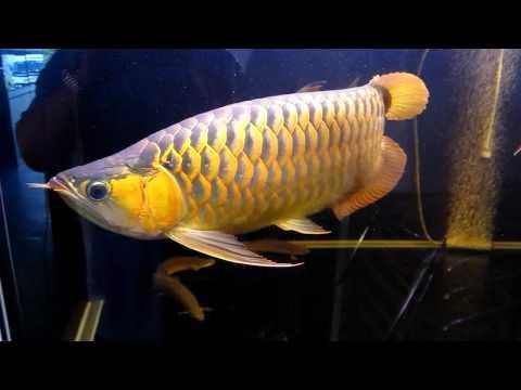 Red asian arowana fish available and many others for sale for Arowana fish for sale online