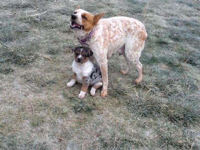 Red Cattle Dogs For Sale