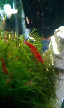 Red cherry shrimp+java/christmas moss+assassin snails for sale
