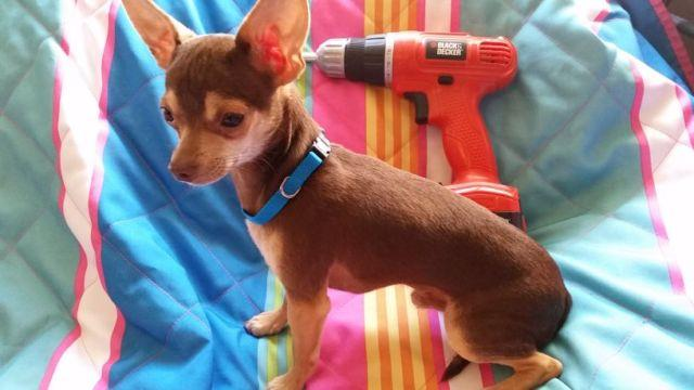 Red/Chocolate M Chihuahua pup 4 mo old