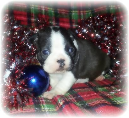 Red Ckc,reg Female Boston terrie puppie!