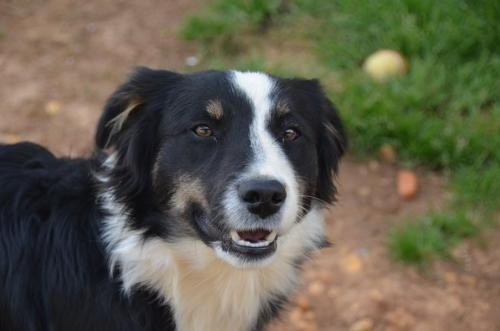 Red Devil Border Collie Adult - Adoption, Rescue for Sale in