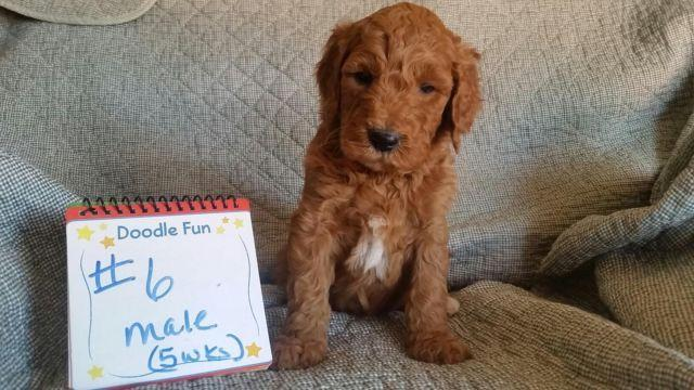 Goldendoodle pups ofa good parents for sale in nortonville kentucky