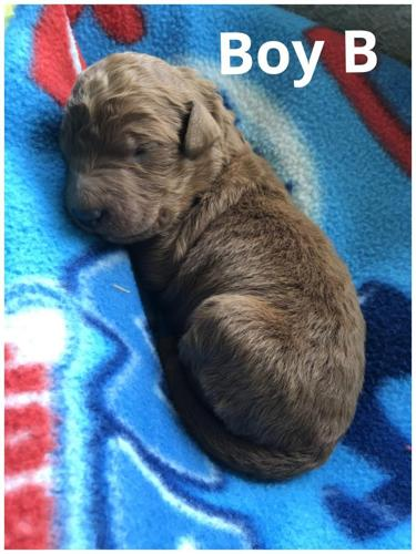 Red F1b Goldendoodles for Sale in Ottawa Lake, Michigan Classified