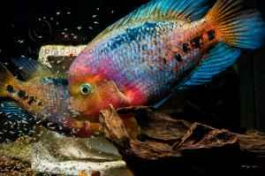 Red festae green texas purple parrot fish columbus for for Purple koi fish for sale