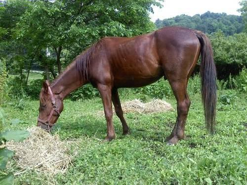 Red Gelding Would Make A Great Husbands Horse NEW PICS