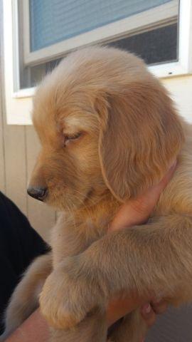 Red Golden Retriever Puppy For Sale In Bucks Bar California