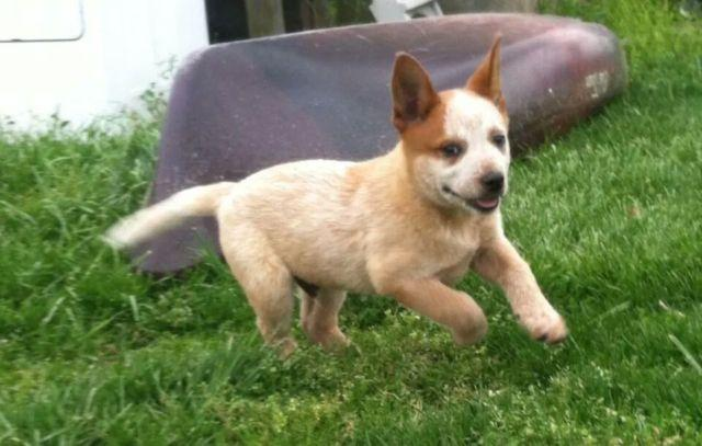 Heeler For Sale In Alabama Classifieds Buy And Sell In Alabama