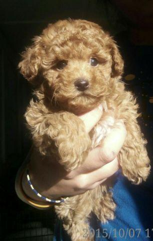 Red Maltipoo For Sale In North Carolina Classifieds Buy And Sell