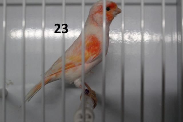 Mosaic Canaries For Sale Red Mosaic Canaries