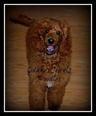 RED Moyen (Medium) Standard Poodle - Boy ~ AKC