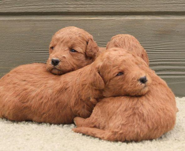 Red New Litter Of Small To Medium Labradoodle Puppies For