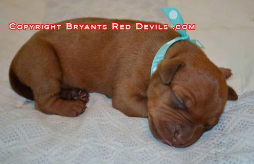 Red Nose Pit Bull Puppies For Sale - Quality OFRN Bloodlines