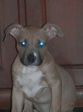 Red Nose Pitbull Puppies For In