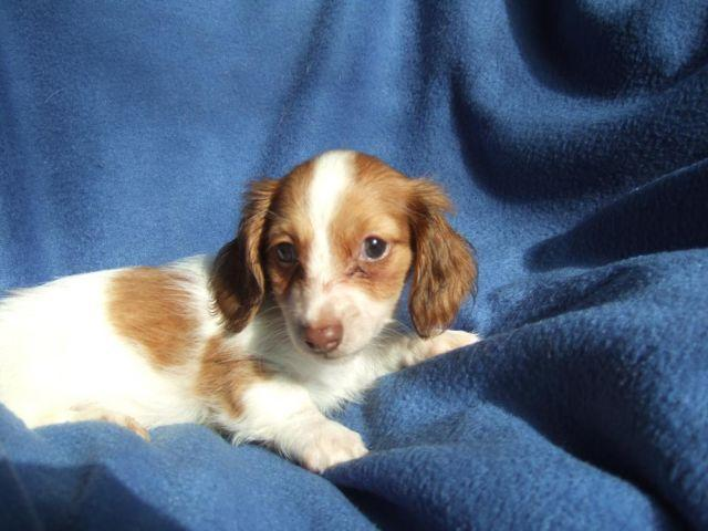 Red Piebald Long Hair Mini Dachshund for Sale in Pilot Mountain, North ...
