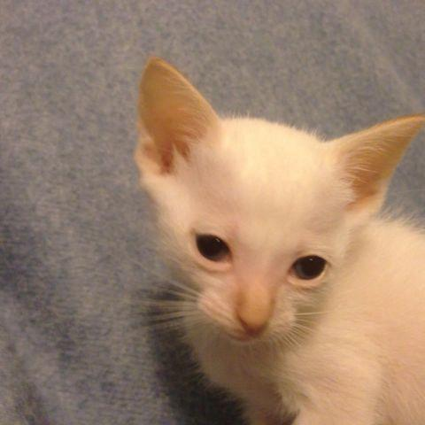 Red Point Siamese Kittens For Sale Red Point Siamese Kitten