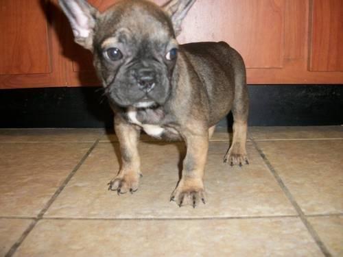 american french bulldog - photo #45