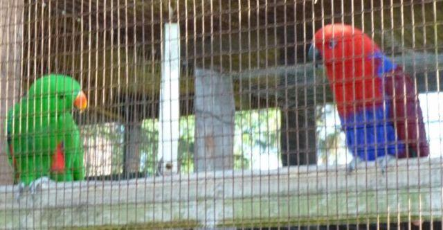 Red-sided Eclectus, Breeding Pair, Pure strain