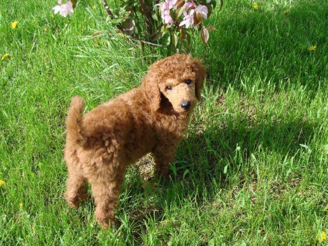 Red Standard Poodles Puppies