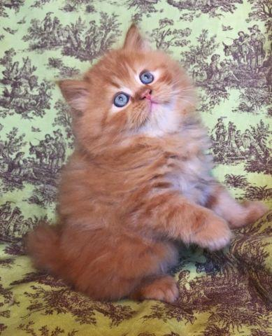 Red Tabby Doll Face Teacup Persian Male Kitten