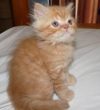 Red Tabby Persian Boy - Ready Now !!