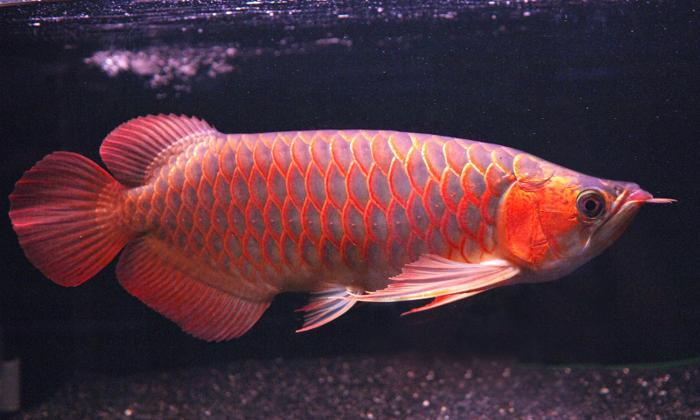Tail Golden, Chilli Red Arowana, Super Red Arowana for sale for Sale ...
