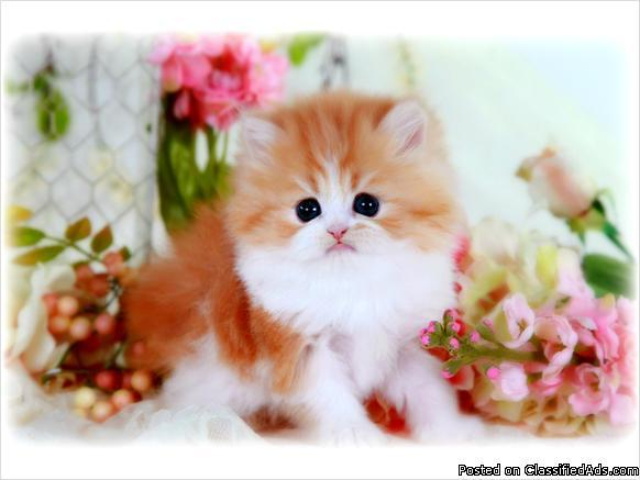 Red & White Teacup Persian Kitten For Sale for Sale in Schenectady ...