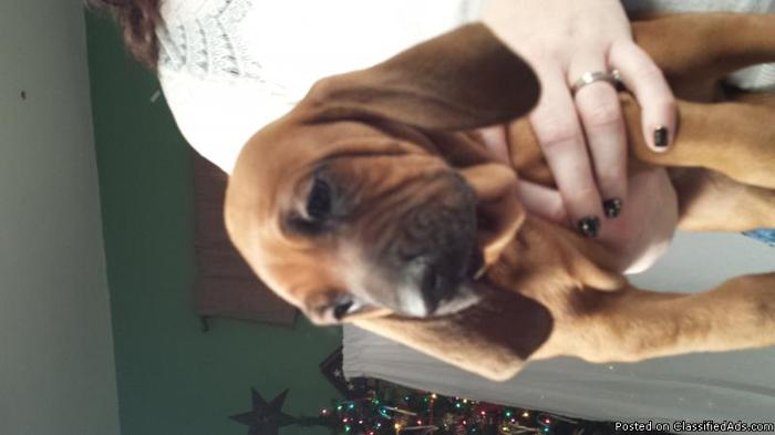 Redbone Coonhound Puppies