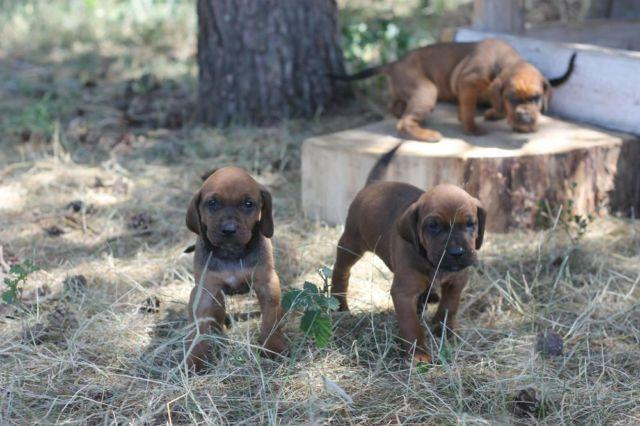 Redtick Hound Dog Puppies For In