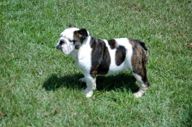 !!REDUCED!! AKC- English Bulldog Puppy for Sale- 5