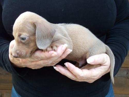 REDUCED! AKC CKC Double Registered Isabella Fawn Male