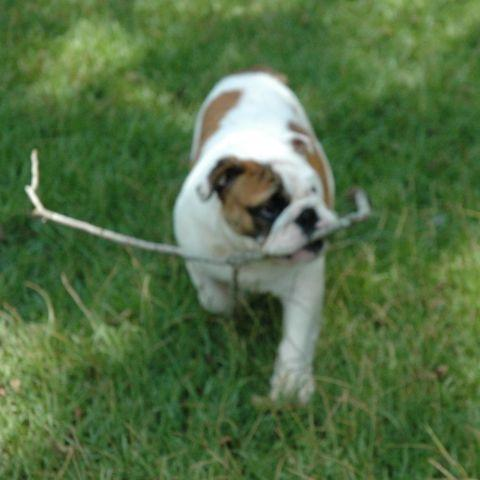 !!REDUCED!! AKC English Bulldog Puppy for Sale- 4