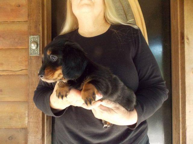 REDUCED! AKC Female Black & Tan Longhair Miniature