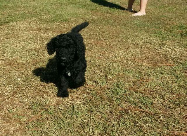 Reduced CKC standard poodle males