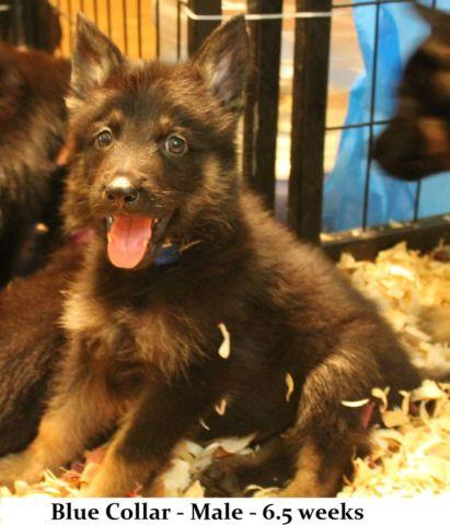 REDUCED!! -- German Shepherd Puppies - Available