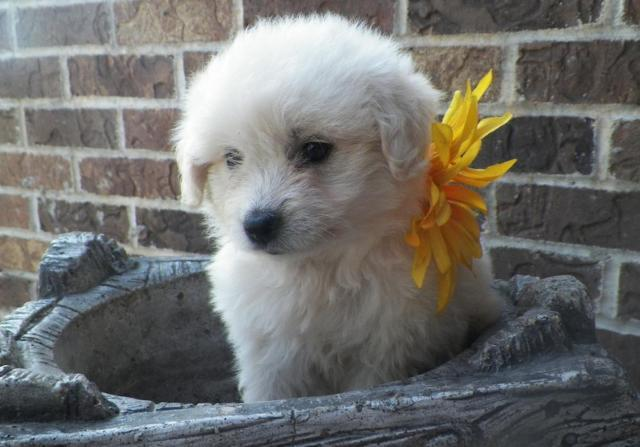 Reduced Mary Margaret Miniature Eskipoo For Sale In Isanti