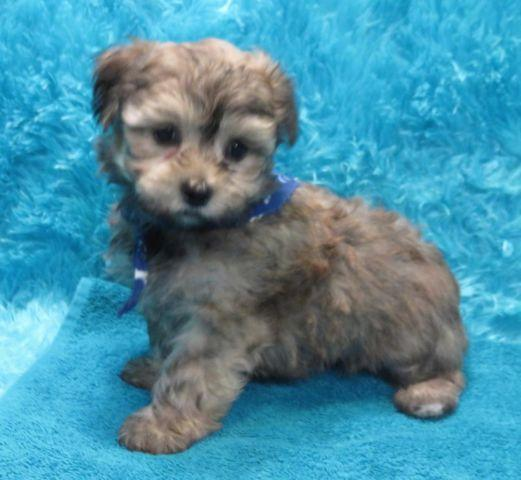 Reduced Price**CODA**Morkie** Ready For His Forever Home
