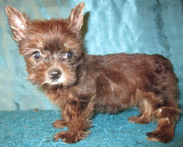 Reduced Price Toy Size Chocolate Yorkie Female 3-months CKC