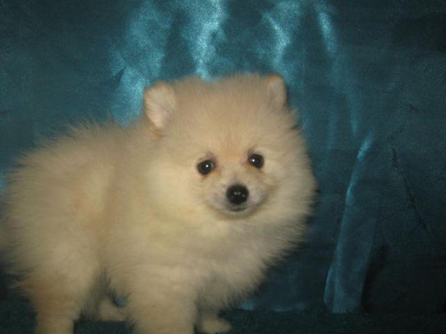 toy size pomeranian reduced price toy size pomeranian male 2 1 2 months old 277
