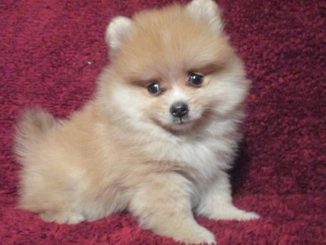 toy size pomeranian reduced price toy size pomeranian male 3 1 2 months ckc 9546
