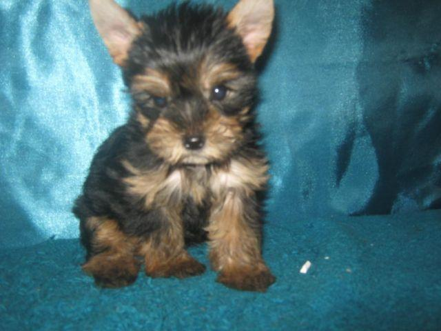 Yorkie Poo For Sale In Houston Texas Classifieds Buy And Sell