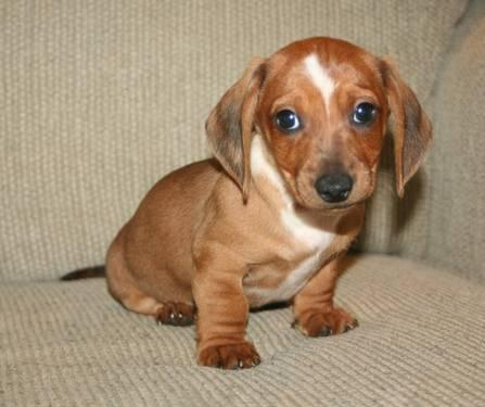 Reduced Purebred Miniature Dachshund Puppies For Sale 8 Weeks