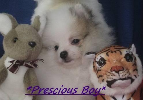 REDUCED This wk end Only Stunning Pomeranian
